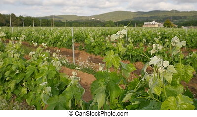 Vineyard Fields at Spring Farm - Ronin steady cam view of a...