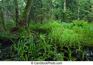 Rich riparian mixed stand of Bialowieza Forest in...