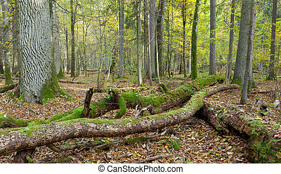 Deciduous stand of Bialowieza Forest in fall with partly...