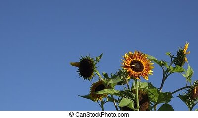 Decorative colorful sunflowers flowers blooms move in wind...