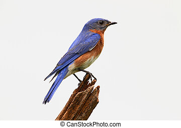 Isolated Bluebird On A Stump - Eastern Bluebird (Sialia...
