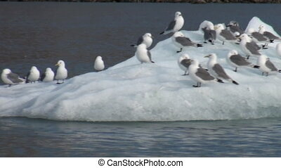 Seagulls sit and float on an iceberg in Arctic. - Seagulls...