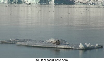 Leopard Seal sleeping on an Iceberg in Arctic. - Crying...
