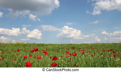 poppies flower and blue sky spring meadow landscape