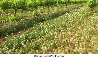 Vineyard Crops in Spring Aerial - Drone aerial view of a...