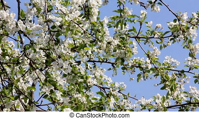 Blossom apple tree branches and wind blowing