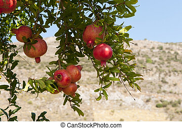 pomegranate tree - almost ripe pomegranate fruit hanging in...