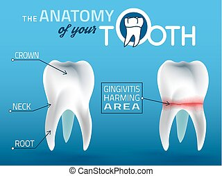 Teeth vector anatomy - Human tooth dental infographic....