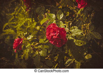 Red Climbing Rose Textured - Red roses climb a rose arbor in...