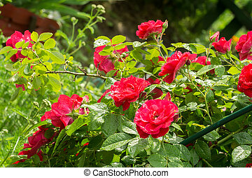 Red Climbing Rose - Red roses climb a rose arbor in the...