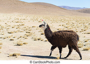 One single llama on the Andean highland in Bolivia Adult...