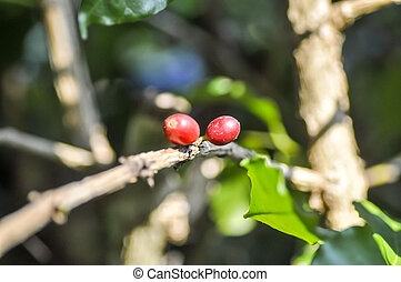 coffee beans on coffee plant - coffee beans on branch of...