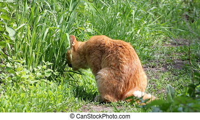 Red cat eating grass in garden