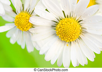 Daisy - close-up view of some daisies before green...