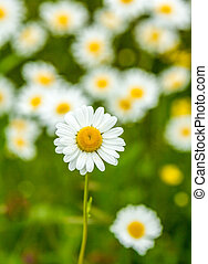 ox-eye daisies - a meadow of ox-eye daisies