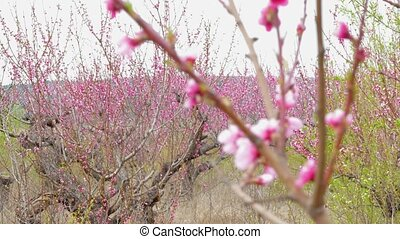 Peach Trees Blooming In Garden - Changing focus from...