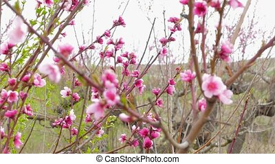 Branches Of Blooming Peach Trees In Springtime - CLOSE UP In...