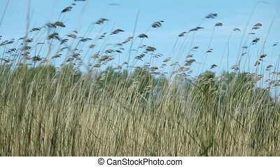strong wind rustles the tall stems of cattail