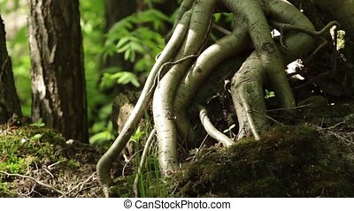 aerial roots of the tree - quaint aerial roots of a tree in...