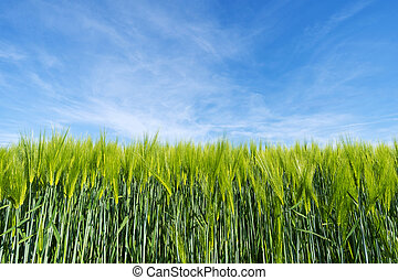 Agriculture wheat plants background