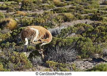 Vicuna on the Altiplano - Adult vicuna (Vicugna vicugna)...
