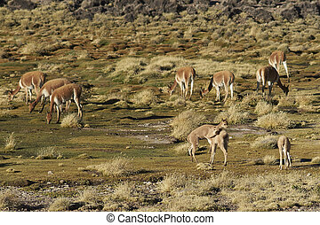 Vicuna on the Altiplano - Pair of young vicuna Vicugna...
