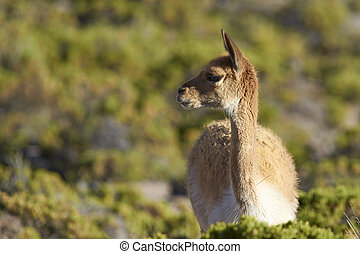 Vicuna on the Altiplano - Portrait of an adult vicuna...