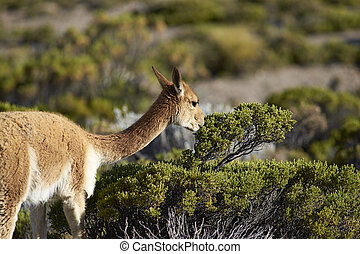 Vicuna on the Altiplano - Adult vicuna Vicugna vicugna...