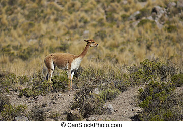 Vicuna on the Altiplano - Adult vicuna Vicugna vicugna in...
