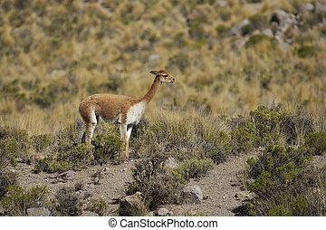 Vicuna on the Altiplano - Adult vicuna (Vicugna vicugna) in...