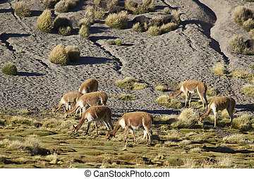 Vicuna on the Altiplano - Group of adult vicuna (Vicugna...