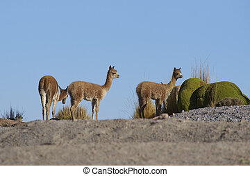 Vicuna on the Altiplano - Group young vicuna Vicugna vicugna...