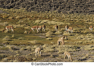 Vicuna on the Altiplano - Pair of young vicuna (Vicugna...