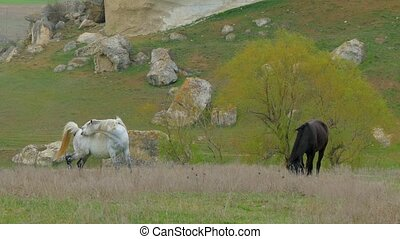 Two Horses Grazing At Nature - Two horses of black and white...
