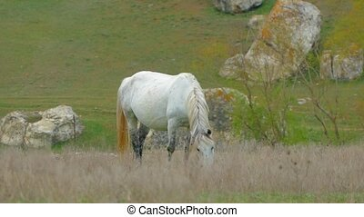 White Horse Grazing On Meadow - Shot captured at nature, one...