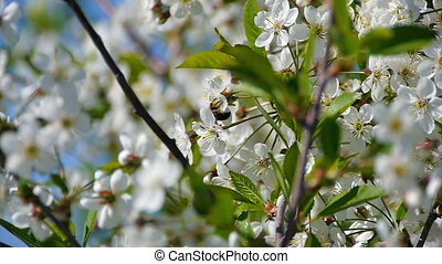 bee pollinating flowering trees spring flowers slow motion nature summer beautiful flowers collect pollen honey bee swarm beautiful tree fruit garden green leaves white flowers apple cherry plum