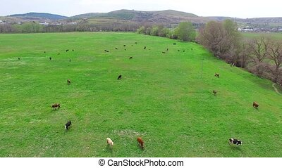 Herd Of Cows On Grass In Green Pasture - AERIAL VIEW. Camera...