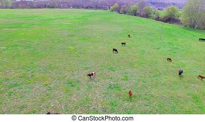 Green Field With Several Cows Grazing - AERIAL VIEW Camera...