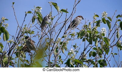flock of sparrows perched on the branches of trees against the blue clear sky, nature, animal bird clear day the sun
