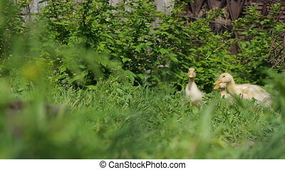 Ducklings walking through the grass drinking water, play eating grass sunny day basking in the sun quacking bright juicy green grass nature pets interesting bird duck geese chickens