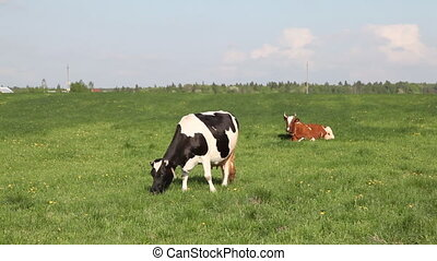 Cow eat grass