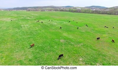 Green Grassy Meadow With Herd Of Cows - AERIAL VIEW Camera...