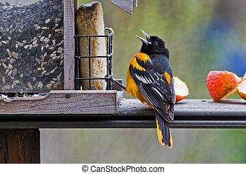 Baltimore Oriole Feeding - A male Baltimore Oriole at a...