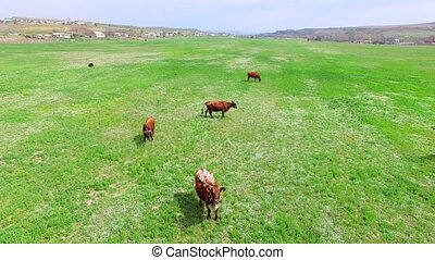 Green Field With Herd Of Cows