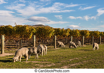 flock of merino sheep in vineyard - flock of merino sheep...