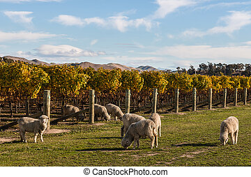 merino sheep in vineyard in autumn - flock of merino sheep...