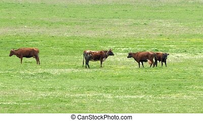 Cows Grazing On Green Meadow - The shot captured at the...