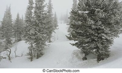 Snow covered pine on snowy weather in ski mountains in...