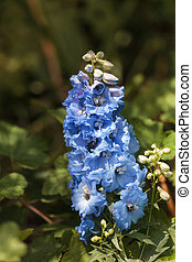 Delphinium blue bird flowers