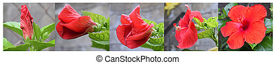 Hibiscus flower stages